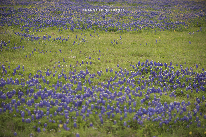 Bluebonnet mini sessions in Grapevine, Texas on April 19th, 2015.